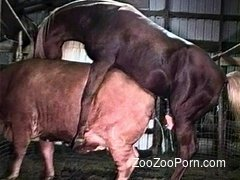 Horse fucks cow in amazing zoophilia cam special
